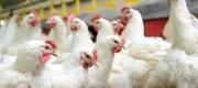 زیان ۱۰ میلیارد ریالی کرونا به صنعت مرغ گلستان