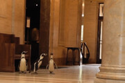 ببینید | بازدید سه پنگوئن در غیاب آدمها از موزه معروف نلسون اتکینز