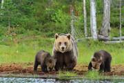 ببینید | خرس قهوه ای و توله هایش در ارتفاعات سوادکوه مازندران