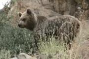 ببینید | فیلمی کم نظیر از خرس قهوهای در منطقه شکار ممنوع سوادکوه