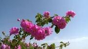 پیش بینی برداشت ۸۰ تن گلتر از گلستانهای شهربابک