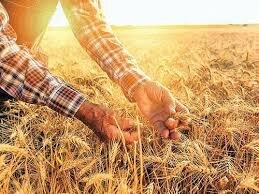 مبارزه با آفات در مزارع گندم مازندران