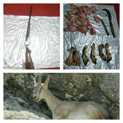 دستگیری شکارچی حرفهای در طارم سفلی