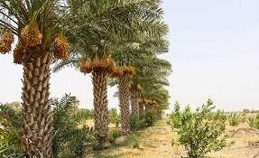 تمدید بیمه نخیلات خوزستان