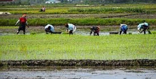 کشت برنج خارج از گیلان و مازندران آزاد شد