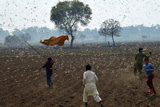 ببینید | حمله وحشتناک ملخ ها به مزارع پاکستان و از بین رفتن محصولات کشاورزی