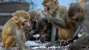 تصویب قانون اساسی برای میمونهای سوئیسی!