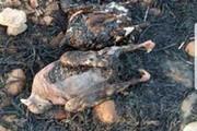 ببینید | تصاویر دردناک از سوختن حیوانات در آتش سوزی جنگلهای زاگرس