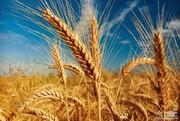 ۳۳۰هزار تن گندم از اراضی کشاورزی قزوین برداشت میشود