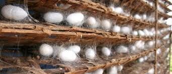 افزایش 20 درصدی توزیع تخم نوغان در خراسان رضوی