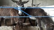 ببینید | عجایب مزرعه پرورش الاغ در یک قدمی تهران