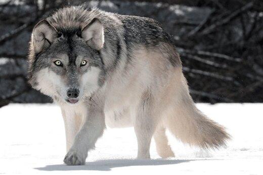 ببینید | گرگی که از حمله سگهای ولگرد به انسان پناه برد!