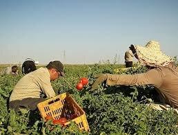 کشاورزی مازندران نیازمند برنامه ای منسجم