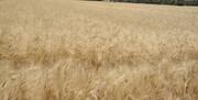 ترکیه پروژه سرقت محصولات کشاورزی سوریه را کلید زد