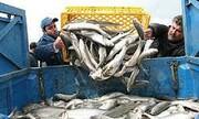ممنوعیت صید ماهی حلوا سفید در صیدگاههای خوزستان و بوشهر