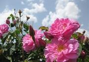پیشبینی برداشت ۱۵۰ تن گل محمدی از گلستانهای شهرستان شهرکرد