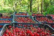 کارگران میوه چین روزانه چقدر می گیرند؟