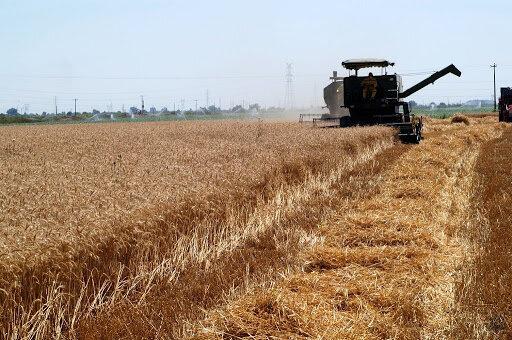 آغاز برداشت غلات از ۳۲ هزار هکتار اراضی کشاورزی سرایان
