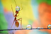 ببینید   دنیای دیدنی مورچهها از دریچه دوربین عکاسی