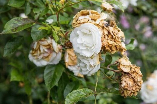 کرونا ۱۵ میلیارد ریال به گلخانههای شهرستان اردل خسارت زد