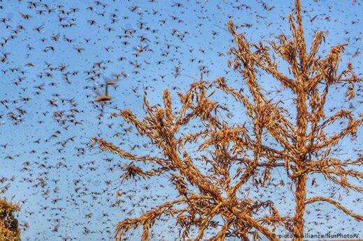 ببیند | هجوم گسترده ملخها به مزارع هند و راه مقابله کشاورزان!