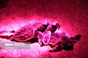 تصاویری دیدنی از تولد جوجه لاکپشتها در جزیره کیش