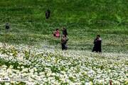 تصاویر | دست گلهای بابونه در جنگل فندقلو