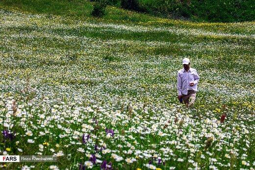 گلهای بابونه در «فندقلو» اردبیل
