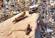 مبارزه با ملخ مراکشی در ۲۱ هزار هکتار از اراضی استان گلستان