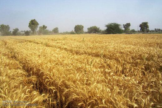 آغاز خرید تضمینی گندم توسط شبکه تعاون روستایی قزوین