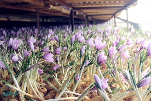 راه اندازی سومین واحد تولیدی زعفران در لرستان