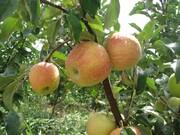 طرح کیل گیری از مزارع و باغات استان قزوین آغاز شد