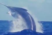 ببینید | تصویری شگفت انگیز از یک اره ماهی