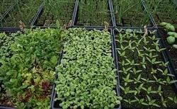 کاشت گیاهان دارویی تیری با دو نشان برای مقابله با بیابانزایی