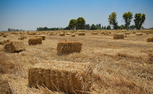 با دلالان گندم در قزوین برخورد میشود