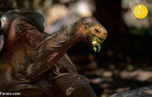 ببینید | روز خوش حیات وحش؛ لاکپشت صد ساله در طبیعت رها شد