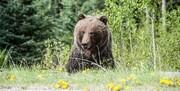مجروحیت ۲ نفر در پی حمله خرس
