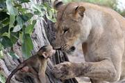 تصاویر | سلطان جنگل،بادیگارد یک بچه میمون شد