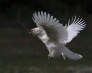 قیمت مرغ پرواز کرد