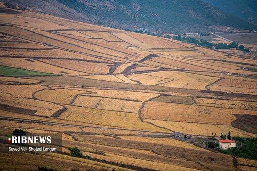 برداشت گندم از مزارع استان مازندران