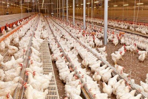 قیمت مرغ ۱۵ هزار تومان مصوب شد