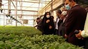 قزوین جزو استانهای برتر کشور در تولید نشا