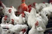 مرغداران باز هم به فکر گرانتر کردن مرغ هستند؛ کیلویی ۱۵ هزار تومان نمیصرفد