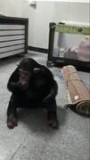 بازگشت شامپانزه معروف به باغ وحش ارم/ تصویر