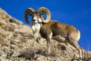 ببینید | پناهگاه حیات وحش حیدری نیشابور از زیستگاه های اصلی قوچ و میش اوریال