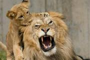 ببینید | تصاویر دیدنی از برخورد شیر با بچه هایش