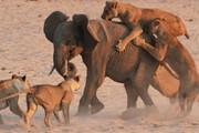 ببینید | مقاومت فیل برابر حمله ۱۱ شیر گرسنه