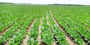 ۱۴۰۰هکتار از اراضی کشاورزی قزوین به زیر کشت چغندرقند رفت