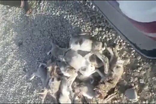 ببینید    کشتار ۱۷ خرگوش به خاطر کلکل دو شکارچی