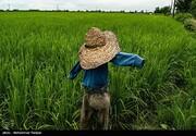 ببینید | عطر خوش برنج در شالیزارهای گیلان